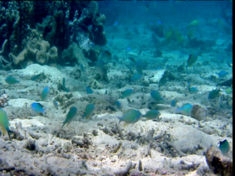 Pan right over shoal of spawning blue-green chromis, Sulawesi