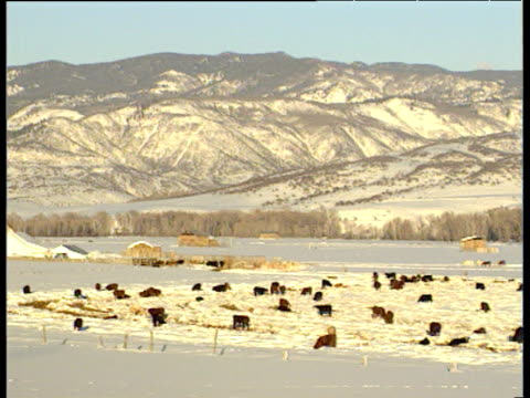 Pan right over snowy mountains with brown cows grazing in foreground on snow Steamboat Springs Colorado