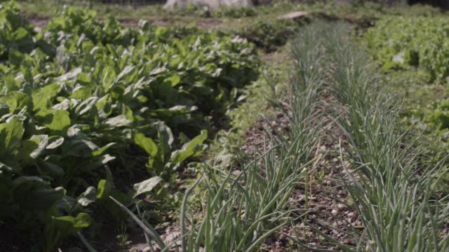 vídeos de stock e filmes b-roll de pan right over vegetables growing in allotment. japan. - alface
