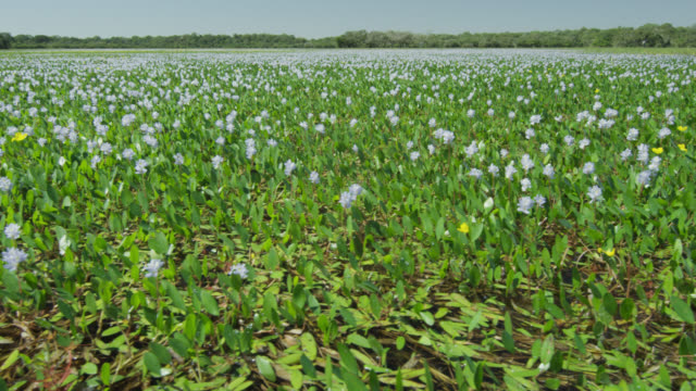 Pan right over water hyacinths (Eichhornia crassipes) in lake.