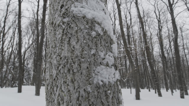 pan right past bark of tree to snow covered forest. - plant bark stock videos & royalty-free footage