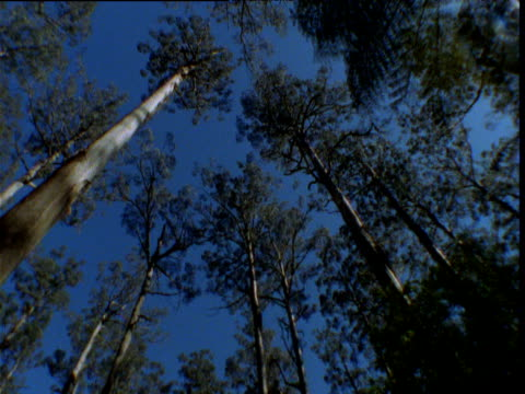 pan right round tree ferns and massive mountain ash gum trees, sunburst in sky, kinglake, victoria, australia - ash tree stock videos & royalty-free footage