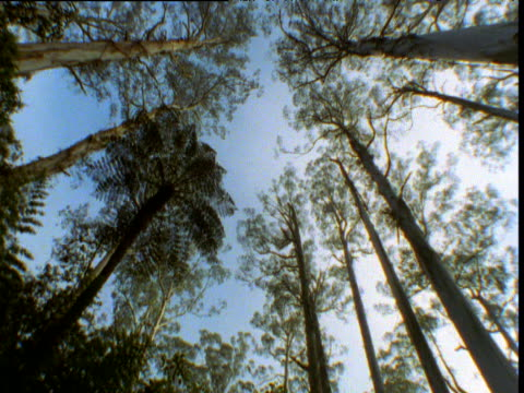 vidéos et rushes de pan right round tree ferns and massive mountain ash gum trees, kinglake, victoria, australia - élevé