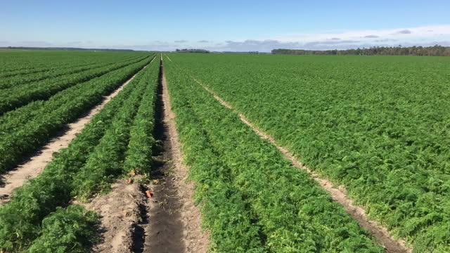 vídeos y material grabado en eventos de stock de pan plano derecho de campo agrícola con zanahorias plantadas en hileras y pista de irrigador - zanahoria