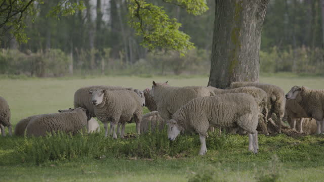 pan right shot of sheep standing in a field - pasture stock videos & royalty-free footage