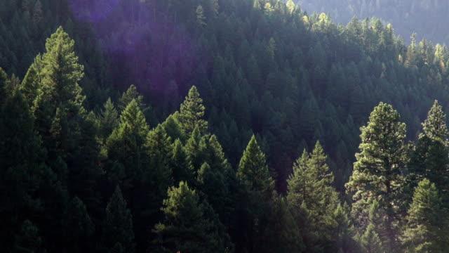 vídeos y material grabado en eventos de stock de pan right telephoto shot of golden fall colored trees in evergreen forest. - pinaceae