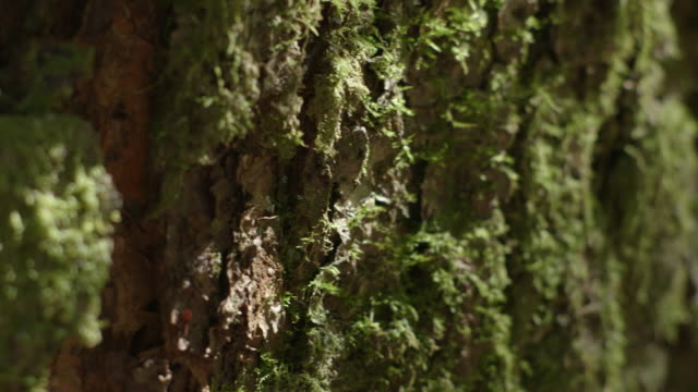 pan right, then pan left over moss covered tree trunks in a nothofagus forest, new south wales, australia. - moss stock videos & royalty-free footage