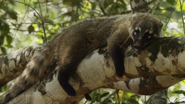 Pan right to coati (Nasua nasua) sleeping draped over branch.