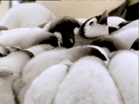Pan right to fluffy emperor penguins huddled together, one puts head back and crows with beak open