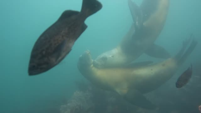 stockvideo's en b-roll-footage met pan right to left: a couple of sea lions going near each other under water - overige