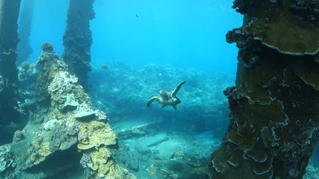 vidéos et rushes de pan right to left: curious turtle exploring the sea floor of lahaina hawaii - épave