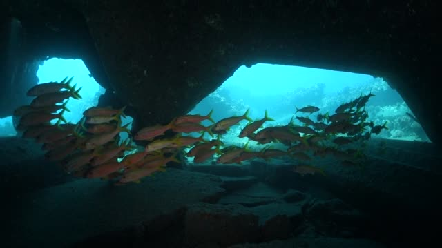 pan right to left: school of fish hiding under a rock in lahaina hawaii - wrack stock-videos und b-roll-filmmaterial