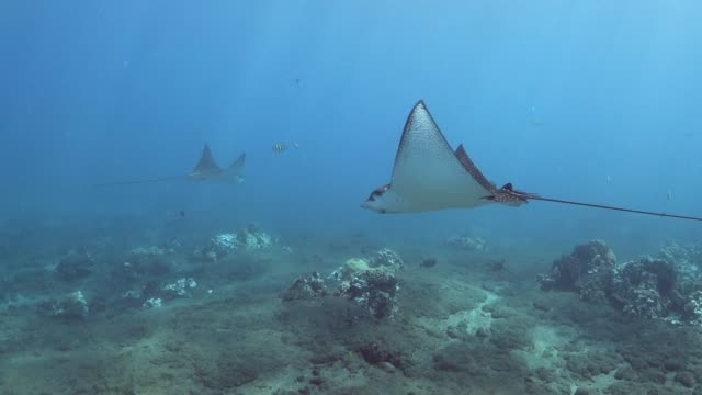 pan right to left: sting rays gliding through the waters of lahaina hawaii - stingray stock videos and b-roll footage