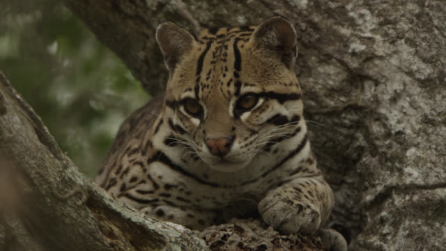 pan right to ocelot (leopardus pardalis) resting in tree. - south america stock videos & royalty-free footage