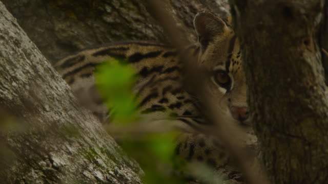 pan right to ocelot (leopardus pardalis) sitting camouflaged in tree. - south america stock videos & royalty-free footage