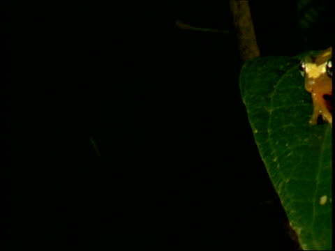 pan right to cu orange and white frog sitting on a leaf, western ghats, india - pezzatura video stock e b–roll