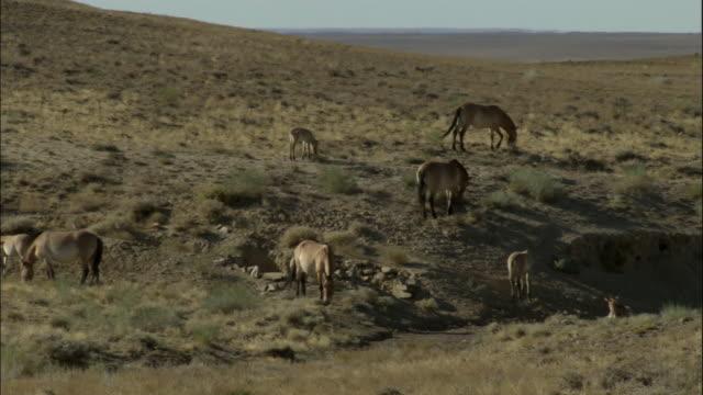 pan right to przewalski's wild horse herd, kalamaili nature reserve, xinjiang, china - przewalskihäst bildbanksvideor och videomaterial från bakom kulisserna