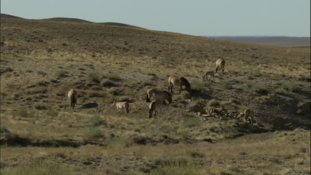 stockvideo's en b-roll-footage met pan right to przewalski's wild horse herd, kalamaili nature reserve, xinjiang, china - steppe