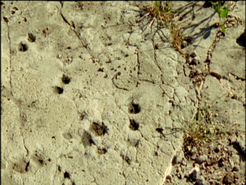 pan right to reveal 3.6 million year old fossilised footprints of rhino, antelope and an early human ancestor (australopithecus afarensis), laetoli, tanzania - footprint stock videos & royalty-free footage