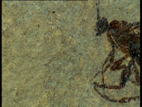 pan right to reveal fossil insect in shale, messel, germany - ancient stock videos & royalty-free footage