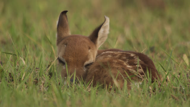 Pan right to white tailed deer fawn (Odocoileus virginianus) resting amongst grass.