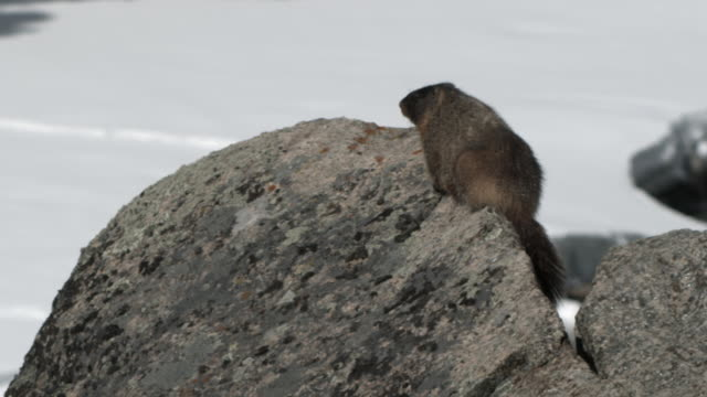 Pan right to Yellow bellied marmot on rock.
