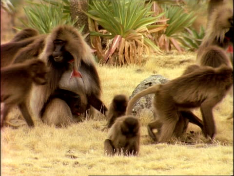 ms pan right, troop of gelada baboons walking across grassland, ethiopia, africa - auf dem rücken liegen stock-videos und b-roll-filmmaterial
