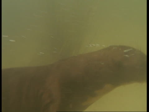 mcu pan right, underwater view of otter swimming past camera, south america - otter stock videos & royalty-free footage