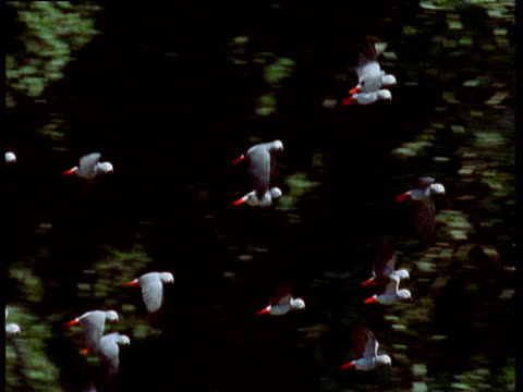 Pan right with flock of African Grey Parrots in flight