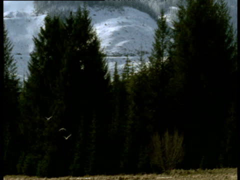 "vidéos et rushes de pan right with gulls as they fly past trees, snowy mountains in background, montague island, alaska - ""bbc natural history"""