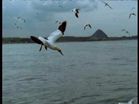 vídeos y material grabado en eventos de stock de pan right with northern gannets plunge feeding, bass rock, uk - río firth of forth