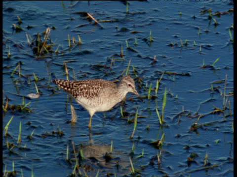 pan right with sandpiper as it wades and feeds - apparato digerente animale video stock e b–roll