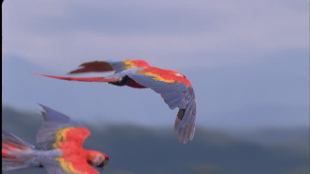 Pan right with Scarlet Macaws as they fly, South America Available in HD.