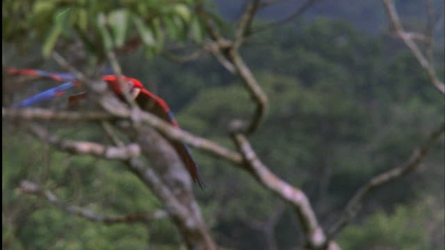 pan right with two scarlet macaws as they fly left to right through jungle, south america available in hd. - scarlet macaw stock videos and b-roll footage