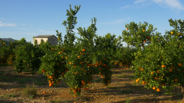 pan shot, mandarine trees in orchard with white house against blue sky - ascorbic acid stock videos and b-roll footage