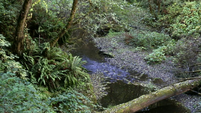 pan shot of beautiful, dark and mysterious, lush moss covered forest and stream. - alder tree stock videos & royalty-free footage