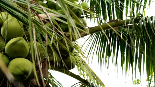 pan shot of coconut tree - coconut stock videos & royalty-free footage