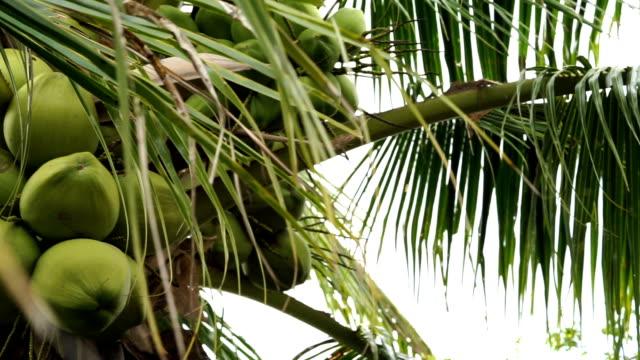 vídeos de stock, filmes e b-roll de pantiro de coqueiro - coco