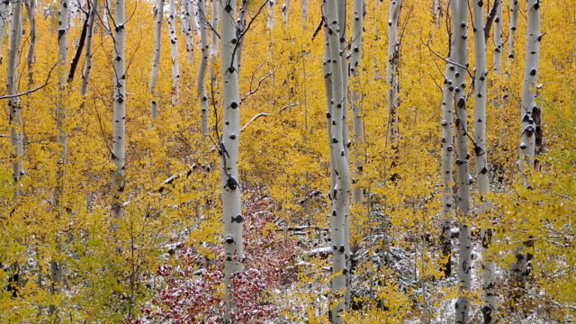 pan shot of golden leaves on aspen trees with small amount of snow. - aspen tree stock videos & royalty-free footage