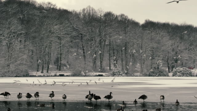 pan shot of gulls landing on frozen lake with canadian geese on the edge of the water & ducks in water in foreground of shot. background of snow covered woodland. - 雁点の映像素材/bロール