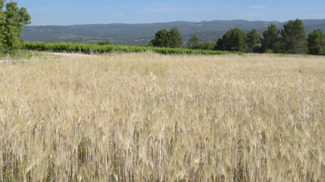 pan shot of oat field - luberon stock-videos und b-roll-filmmaterial
