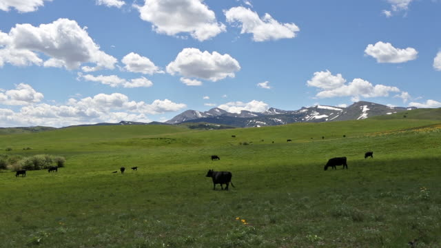 pan shot of prairie field filled with black angus cows and majestic rocky mountains in background under a puffy white cloud filled blue sky. - 牧畜場点の映像素材/bロール