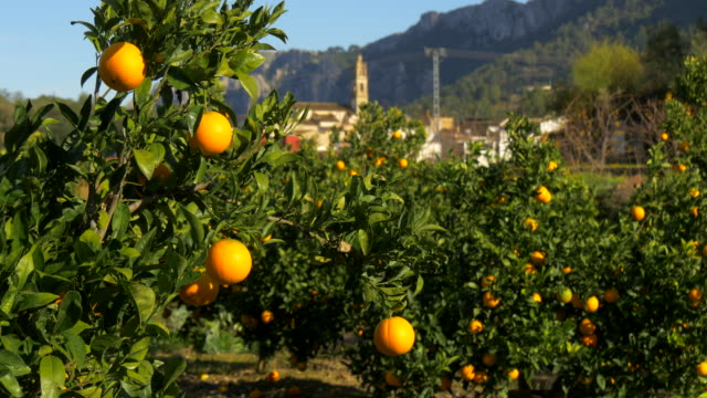 pan shot, orange orchard in front of village of Benissivà with church steeple and mountains
