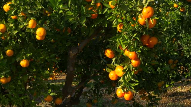 pan shot, sunlight on ripe mandarines in orchard