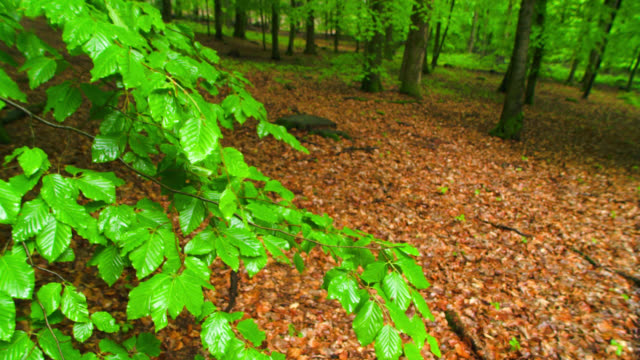 pan shot, wet fresh green beech tree leaves and old foliage on forest floor