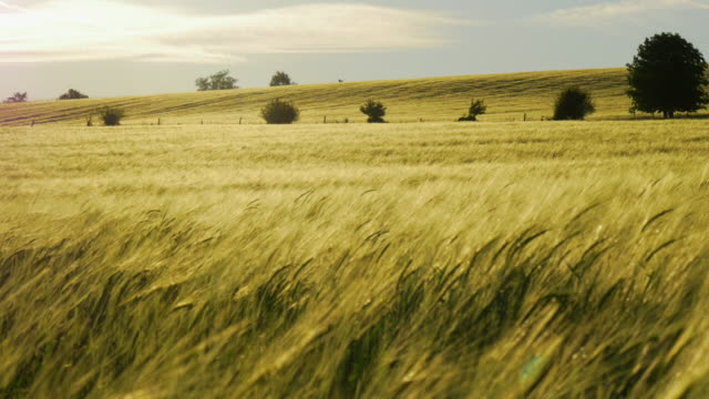 pan shot, wind races across golden barley field with trees - feld stock-videos und b-roll-filmmaterial