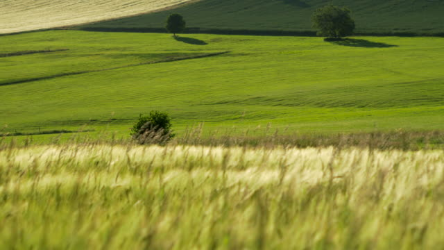 pan shot, wind races across sunlit crop fields with solitary trees and long feathery grass