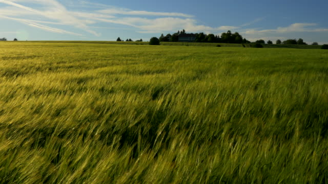 pan shot, windy sunlit green barley field - orzo video stock e b–roll