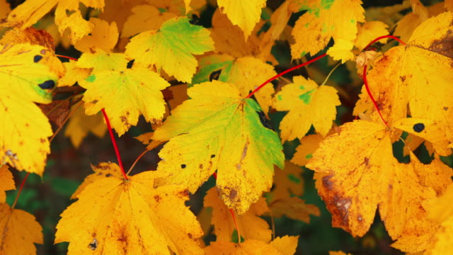 pan shot, yellow fall maple leaves on red stems
