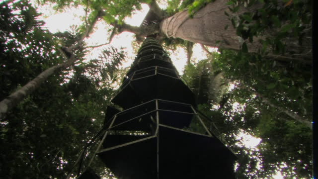 LA WS pan tall tree in rainforest with ladder next to it and platform at top/ Manu National Park, Peru